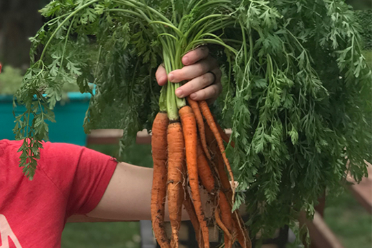 Erin's hand holding up a bunch of home-grown carrots