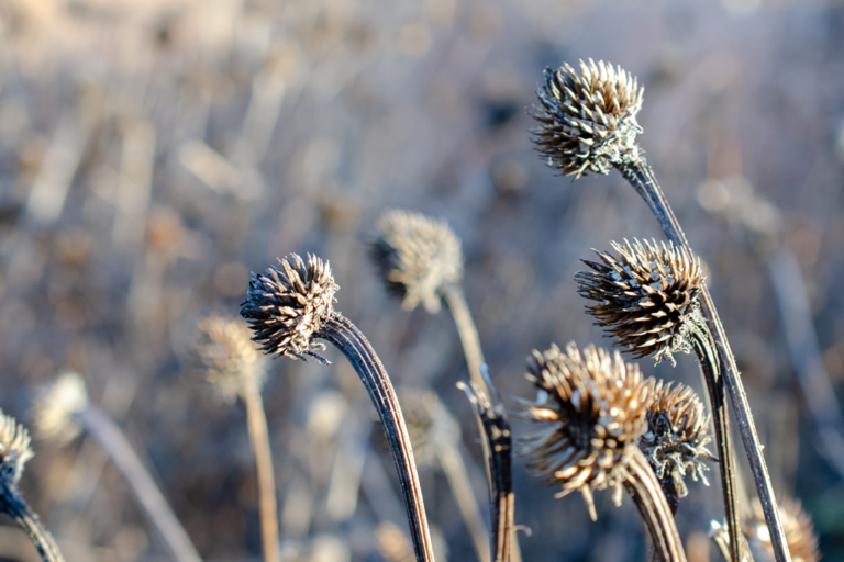 Coneflower seed heads in winter